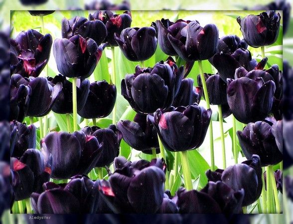 I need this variety of tulip....