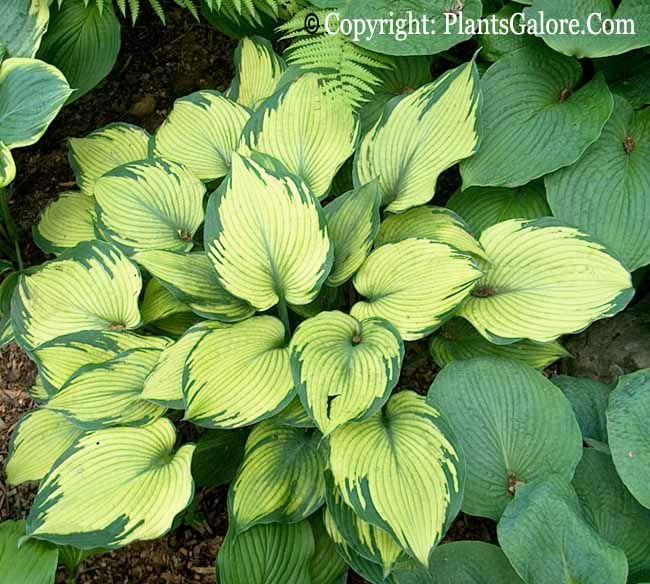 Beckoning Hosta Timothy Saville Of The U K Registered This Sport Of H Blue Angel Hosta Gardens Shade Plants Hostas