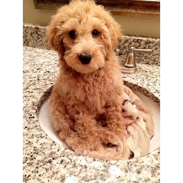 Puppy Are So Easy To Bathe Goldendoodle Golden