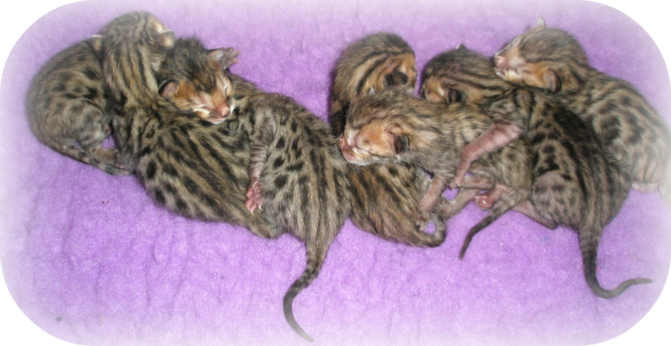 kittens Bengal Kittens For Sale Blog Egyptische mau