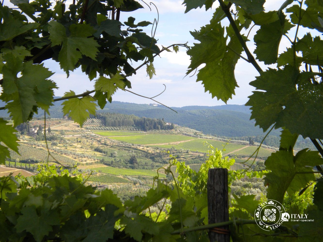 Hills of Tuscany, vineyards and olive groves