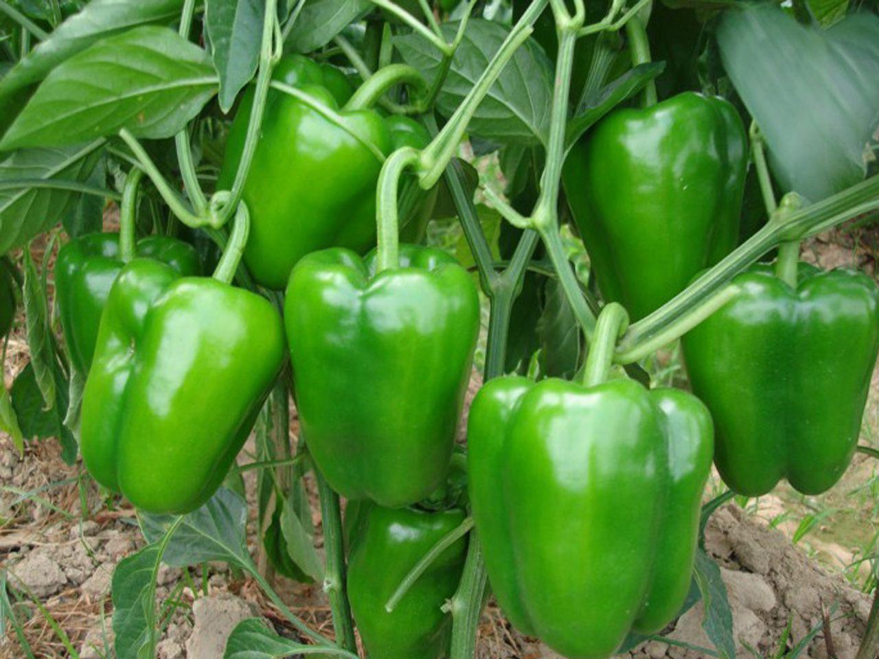 Capcicam Farming In India พร กไทย พร กหยวก