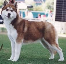 Image Result For Alaskan Malamute Full Grown Alaskan Malamute