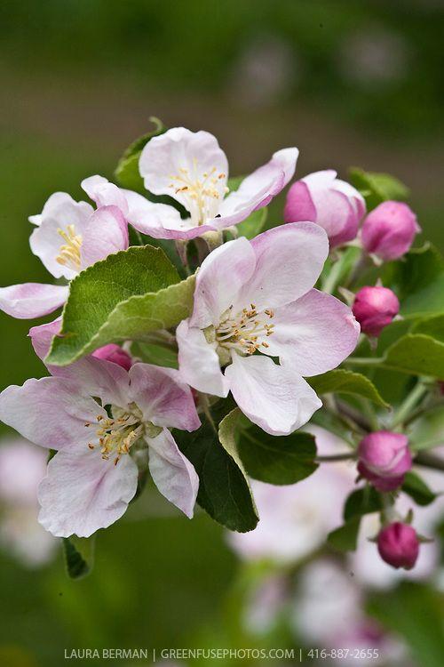 Fotografiya Apple Tree Blossoms Apple Flowers Apple Blossom Flower