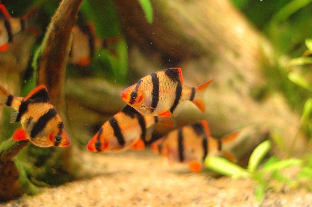 Tiger Barbs Aquariumfreshwaterfish Fish Tropical Fish Tanks Freshwater Fish