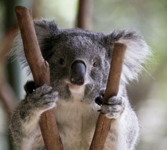 Amazing Koala Bear Chubby Adorable Dog - 49ace382e59aac45dd4222de209d91bb  Photograph_512569  .jpg
