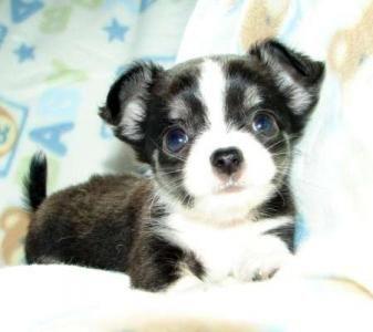 Pin von Tina Kobus auf All Things Chihuahua!!! (mit
