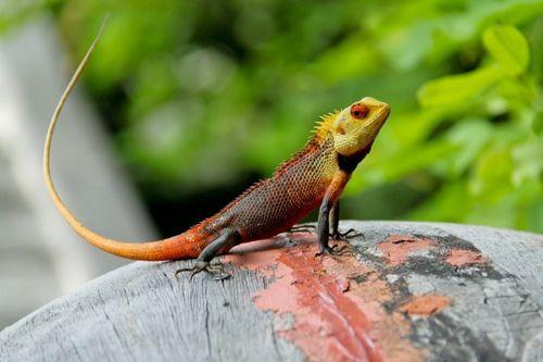 oriental garden lizard calotes versicolor - Garden Lizard