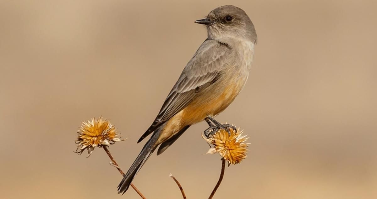 Like Other Phoebes The Say S Phoebe Is Seemingly Undaunted By People And Often Nests On Buildings These Open Country Bird In 2020 Say S Phoebe Ornithology Flycatcher