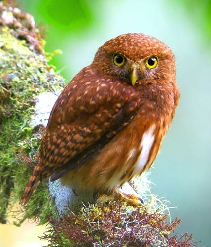 Andean pygmy owl 1000 images about pygmy owl on Pinterest Europe Tawny owl and