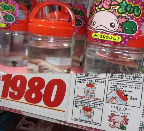 Don Quixote Pink Salamander Pet Salamanders For Sale Japan Aquatic Pets Nakano