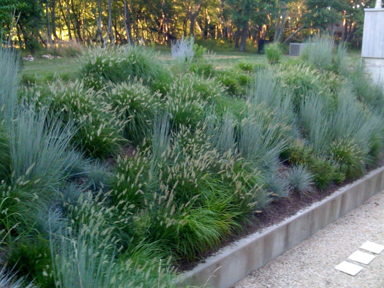Schizachyrium scoparium and pennisetum p l a n t s for Ornamental grass garden designs