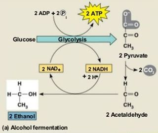 Major Differences Com Anaerobic Respiration Fermentation Alcohol