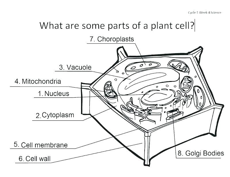 Plant Cell Worksheet Answers Coloring Sheet Answer Key Grade 11