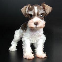 Teacup Schnauzer Puppy Furry friends Pinterest