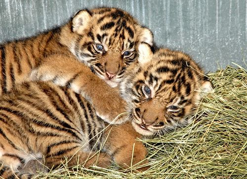 Adorable Baby Tigers Tigers Pinterest