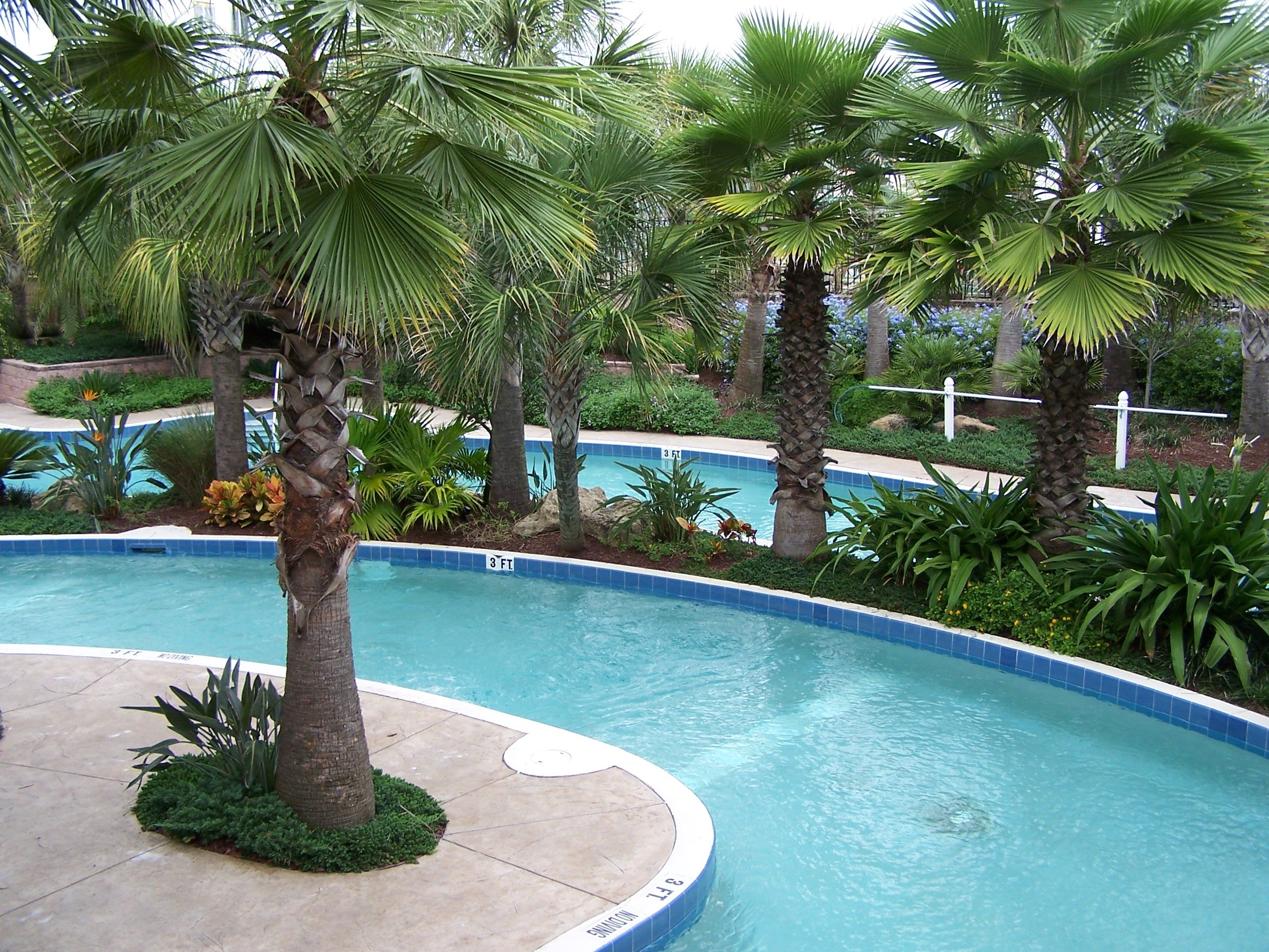 Little Washingtonia palms Washingtonia palm, Palm trees