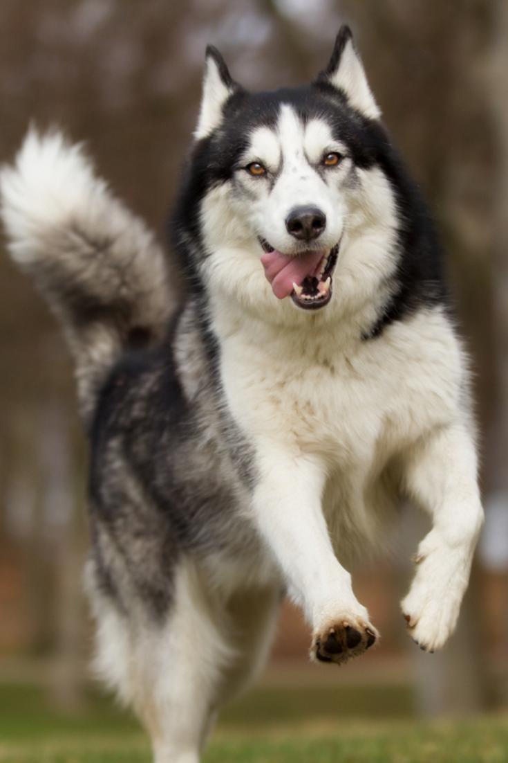 Pin By Niena Hino On Love Snow Dogs Husky Dogs Siberian