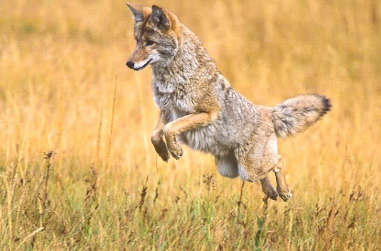 M16243 Getting dinner. ©Jerry Mercier Coyote hunting