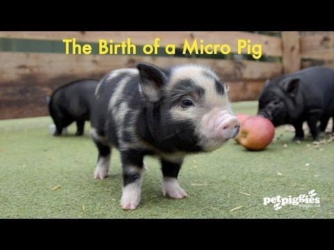 Micro Pig Youtube