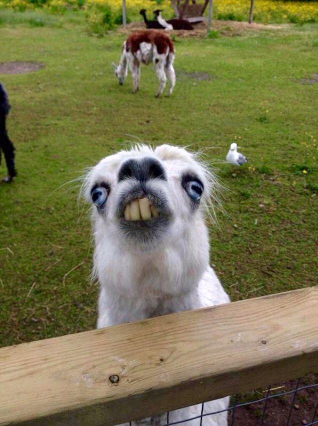 Lama Derp Funny