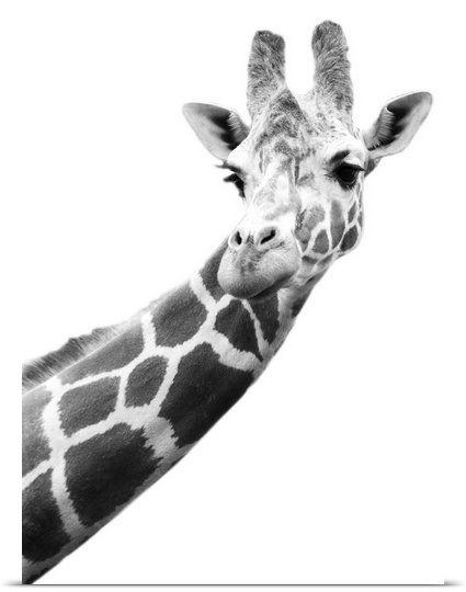 Black And White Portrait Of A Giraffe 画