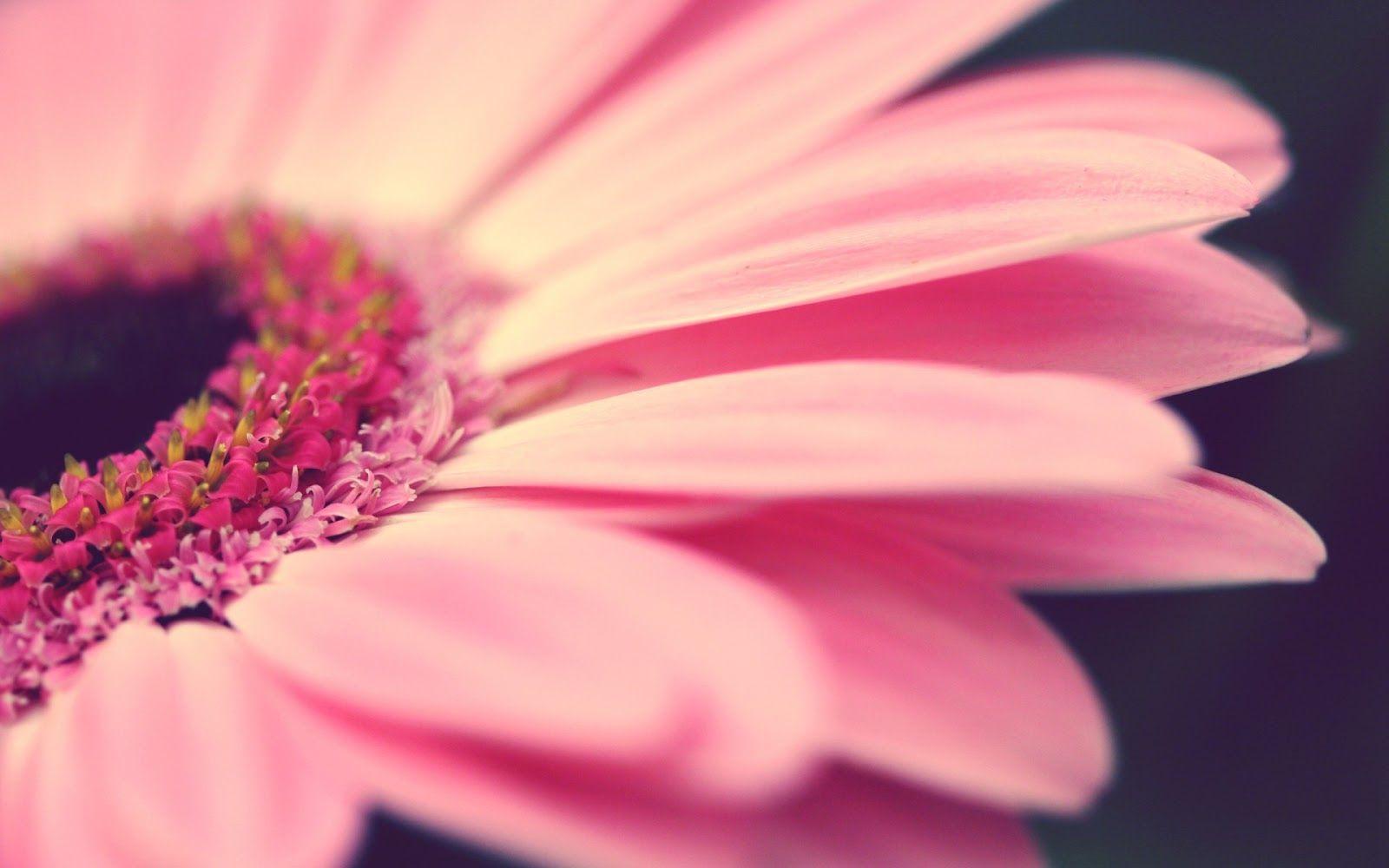 20 خلفية زهور رائعة عالية الدقة مجانا مداد الجليد Pink Flowers Wallpaper Flowers Photography Flower Wallpaper