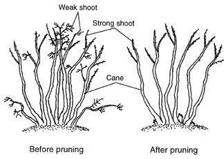 Blueberry Bush Care Pruning Planting Port Kells Nurseries Blueberry Bushes Blueberry Bush Care Blueberry Plant