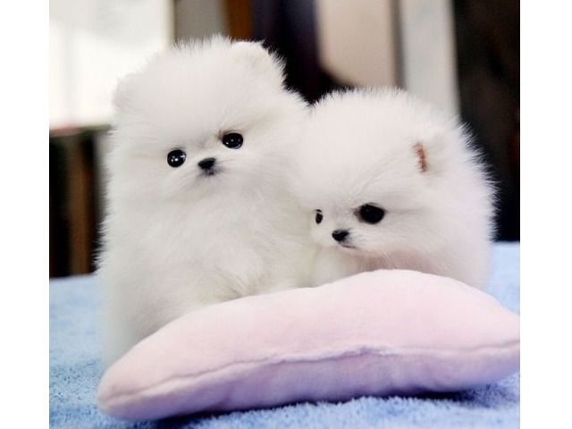 Listing Top Cute Akc Tea Cup Pomeranian Puppies Is Published On