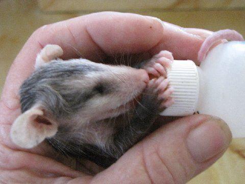 Baby Opossums Baby Opossum Opossum Baby Possum