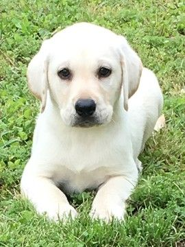 Litter Of 5 Labrador Retriever Puppies For Sale In Conway Sc Adn