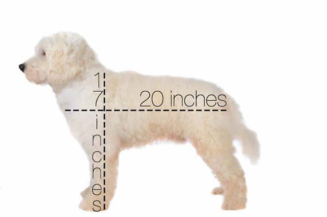 medium goldendoodle size   DOODLES!!!!!!!   Goldendoodle
