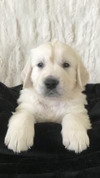 Litter of 9 Golden Retriever puppies for sale in LAS VEGAS