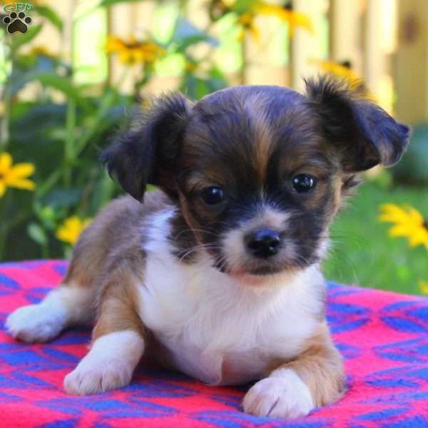 Alf Havachon Puppy For Sale In Pennsylvania Chihuahuas