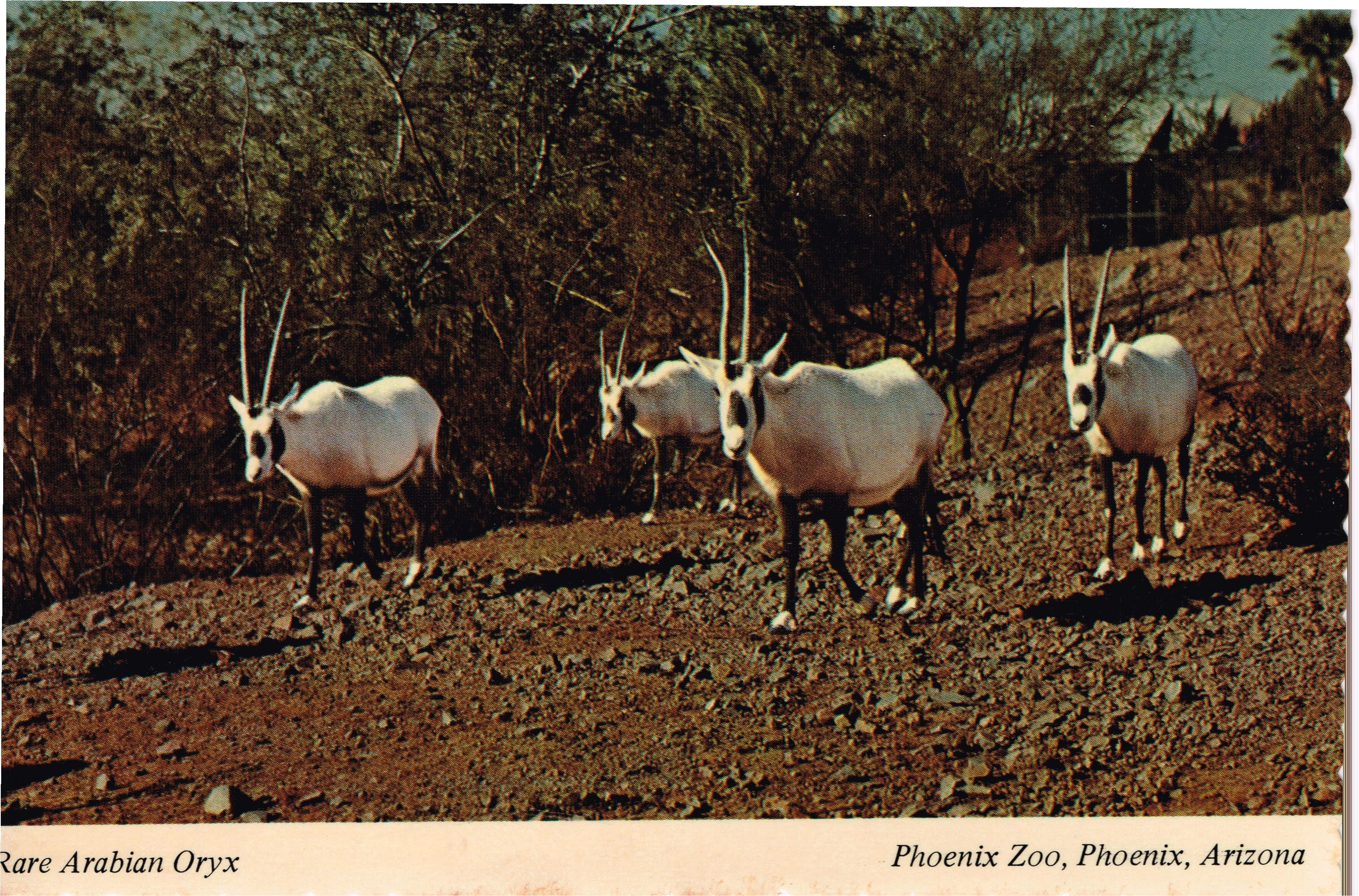 Arabian Oryx, Phoenix Zoo Vintage Post Card
