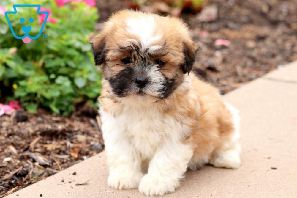 Peaches Shichon Teddy Bear Puppy For Sale Keystone Puppies Teddy Bear Puppies Shichon Puppies Teddy Bear Dog