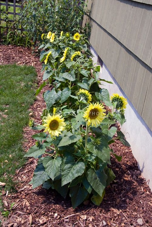 Garden Ideas · Dwarf Sunflowers (Helianthus Annuus)/ATTRACTS: Butterflies,  A Fall Bloomer. Plant