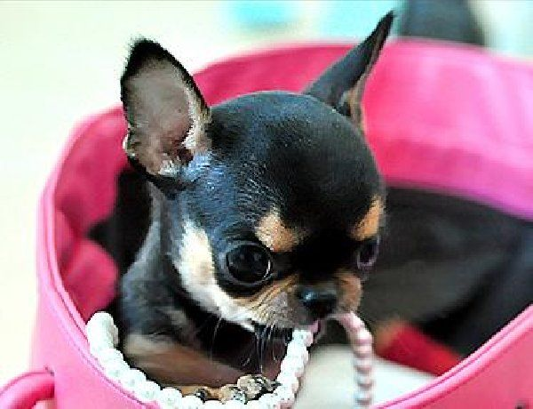 Apple Head Baby Baby Chihuahua Chihuahua Dogs