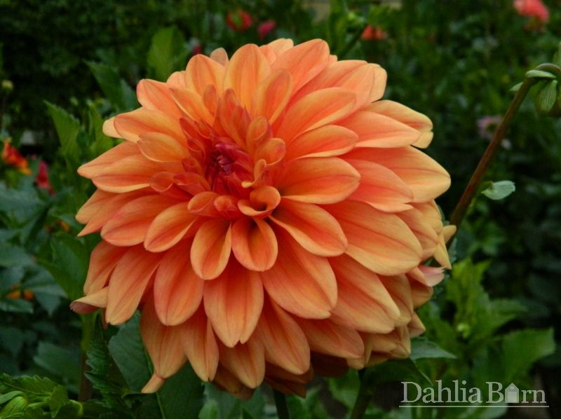 Ferncliff Copper Dahlia Dahlia Bouquet Large Flowers