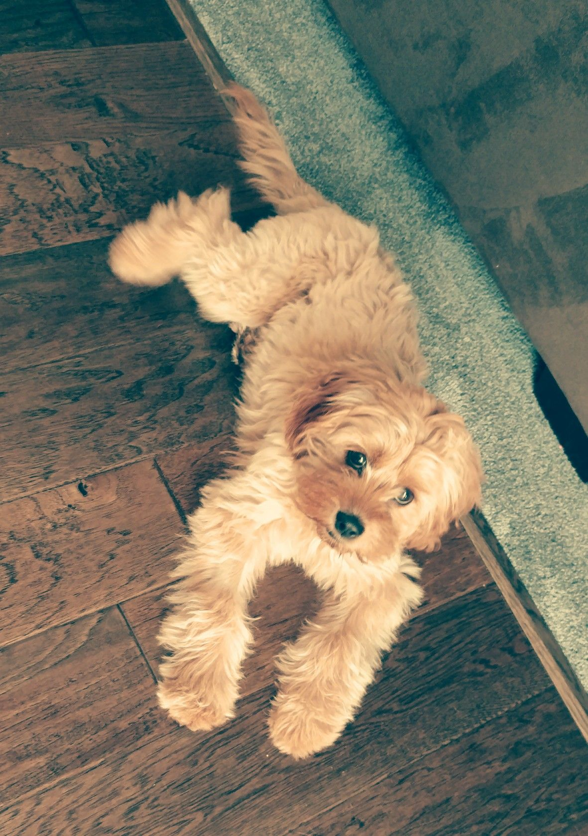 5 Month Old Cavapoo Cavadoodle Cavoodle Named Fawn Animals Friends Cute Dogs Cavadoodle