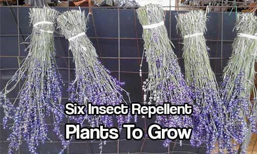 #insectrepellentplants #mosquitoes #mosquitoes #repellent #repellent #includes #protect #insects #plantin #plants #biting #aphids #plants #insect #insectSix Insect Repellent Plants To Grow – Repel: Mosquitoes, Gnats, Ticks, Fleas & Much More… Six insect repellent plants to grow – includes plants that repel biting insects such as: mosquitoes, gnats, ticks & fleas; and plants that protect other plants from aphids & mites etc. Plantin… #gnats