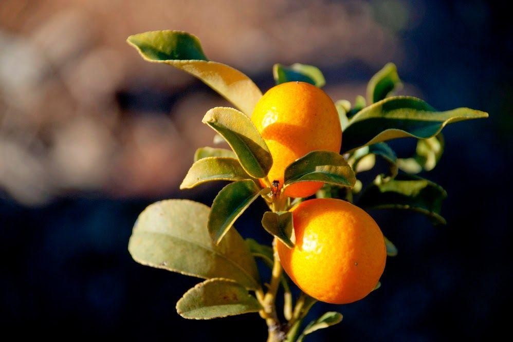Plantas y Flores, plantas especies : Coloque un árbol frutal en su jardín