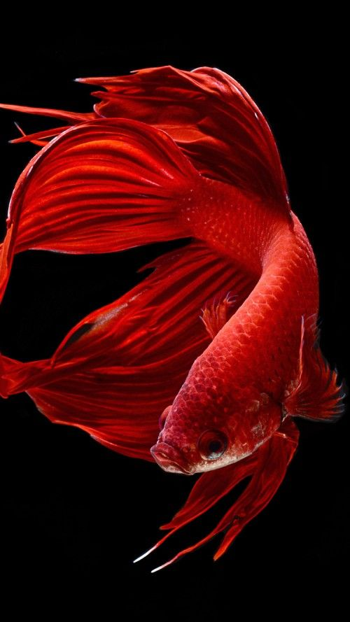 apple iphone 6s wallpaper with red betta fish in dark