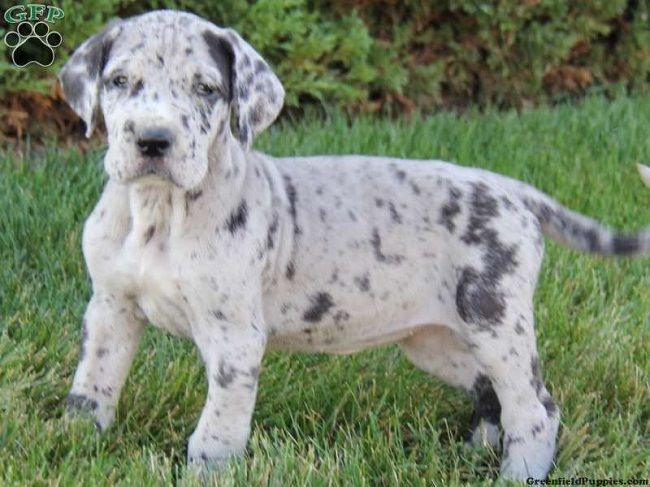 Blue Great Dane Puppies For Sale In Pa Zoe Fans Blog Blue