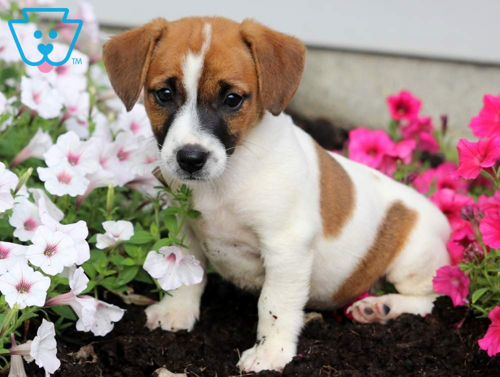 Polly Jack Russell Terrier Puppies Jack Russell Puppies For Sale