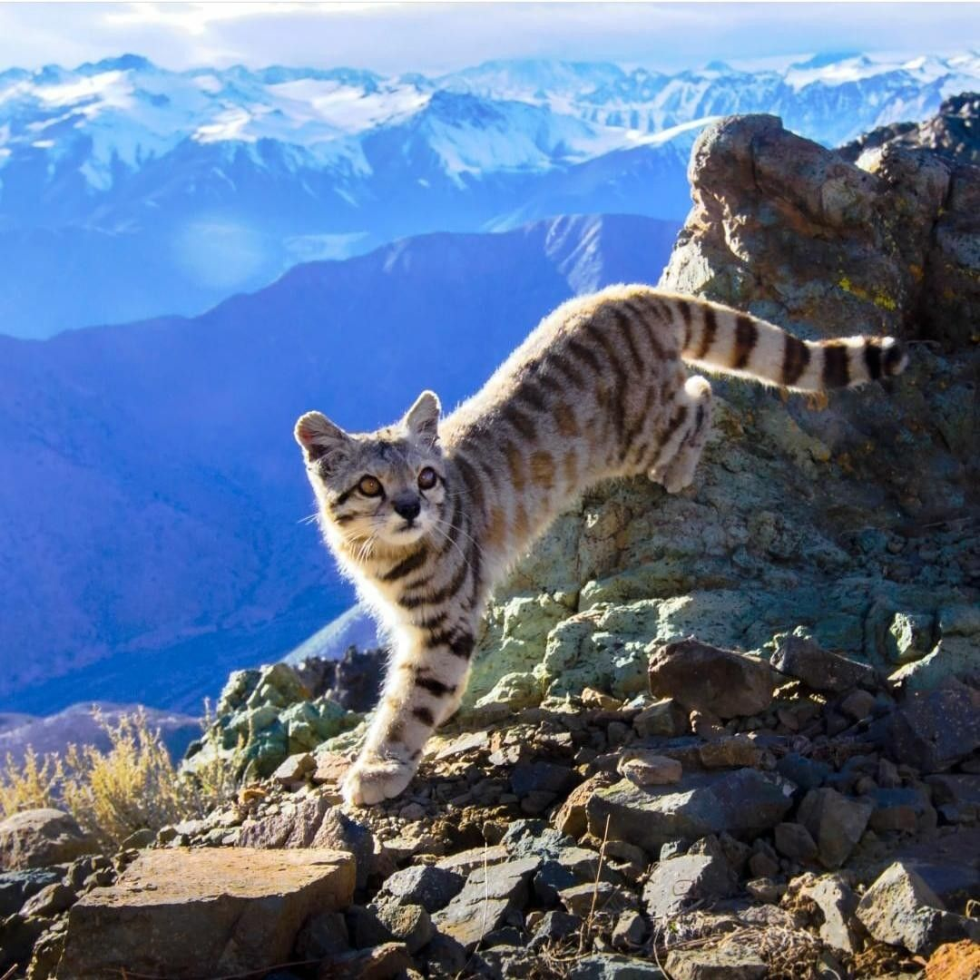 Andean Cat (Leopardus jacobita) Endangered Small wild
