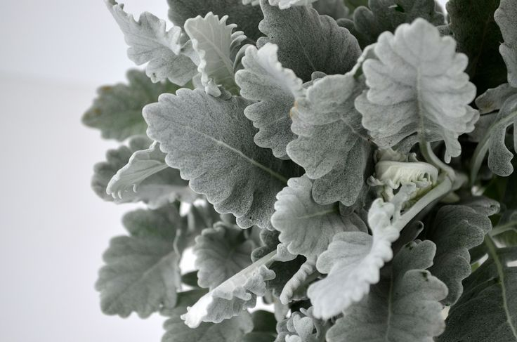 Silvery Grey Seneccio Foliage I Love All Varieties Of Seneccio Different Leaf Shapes And The Co Wedding Flowers Pink Green Dusty Miller Pink Wedding Flowers