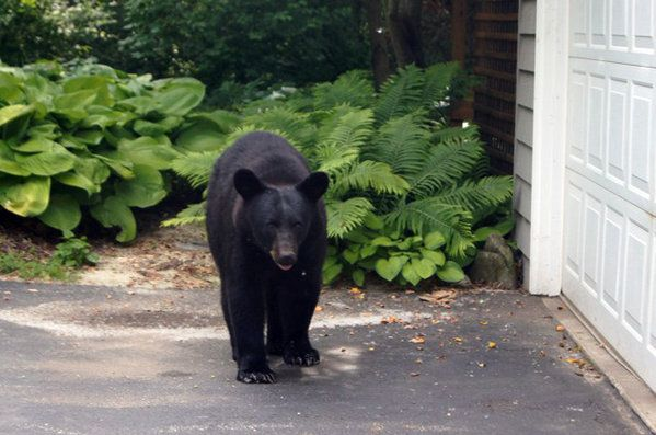 Black Bear Sighted Near Rockford Il Chicago Tribune Black Bear Winnebago County Bear