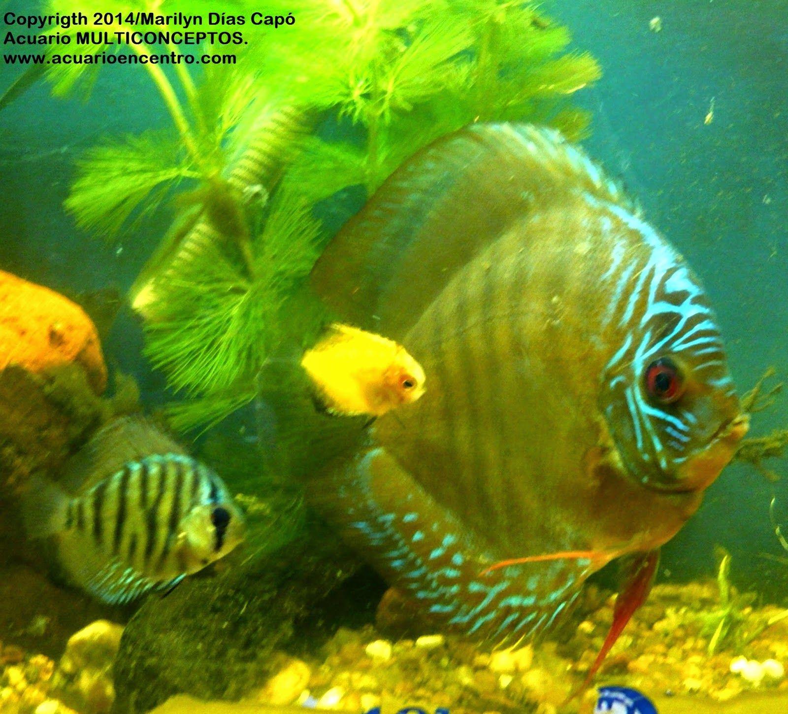 Peces tropicales de agua dulce mis peces en for Peces de agua estancada