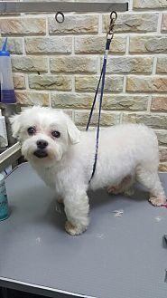 Fairfax Va Maltese Mix Meet Yuki A Dog For Adoption Https Www Adoptapet Com Pet 19364986 Fairfax Virginia Maltese Mix Dog Adoption Pets Adoption